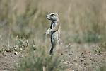 CENTRAL KALAHARI GAME RESERVE, BOTSWANA - MAY 25, 2010: The Central Kalahari Game Reserve is an extensive national park in the Kalahari desert of Botswana. (Photo by Dirk Markgraf)