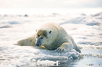 Large male polar bear emerging from ocean onto ice floe, with head stained with walrus blood, Ursus maritimus, Igloolik, Nunavut, Canada, Arctic Ocean, polar bear, Ursus maritimus