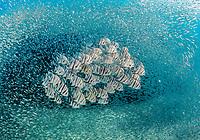 school of  Atlantic spadefish, Chaetodipterus faber, swimming thru a school of unidentifed baitfish.  Palm Beach, Florida.  Atlantic Ocean