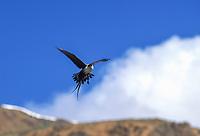 Long-tailed Jaeger hovers in flight, Denali National Park, Alaska.