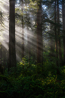 Morning light rays in Redwood National Park, CA