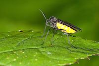 Gelbbauch-Trauermücke, Trauermücke, Gelbbauchtrauermücke, Sciara analis oder Sciara hemerobioides, Trauermücken, Sciaridae