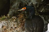 Adult Red-faced Cormorant (Phalacrocorax urile) in breeding plumage on its nest ledge. Kachemak Bay, Alaska. July.