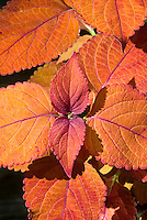 Orange coleus Solenostemon 'Sedona', annual foliage plant in sunset tones of leaf colors . Lobed, rounded leaves with a unique rusty orange color; named after the Sedona Mountains.