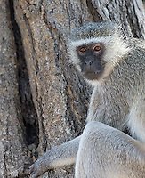 Vervet monkeys are commonly seen in southern Africa.