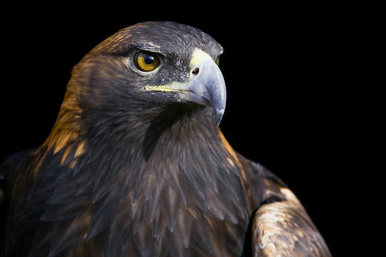 Golden Eagle (aquila chrysaetos) dramatic portrait near Denver, Colorado, USA
