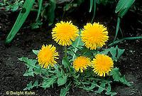 DN01-024c Dandelion Flowers Taraxacum officinale.
