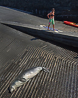 A kayaker observing a Hawaiian monk seal (Monachus schauinslandi) that is basking on a boat ramp at Honokohau Harbor, Kona Coast, Big Island