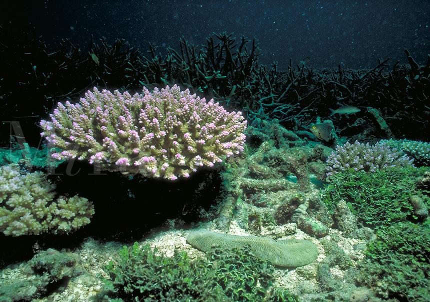 Underwater reef scene - A colony of branching corals, Acropora sp. Seychelles Islands, Seychelles Western Indian Ocean.