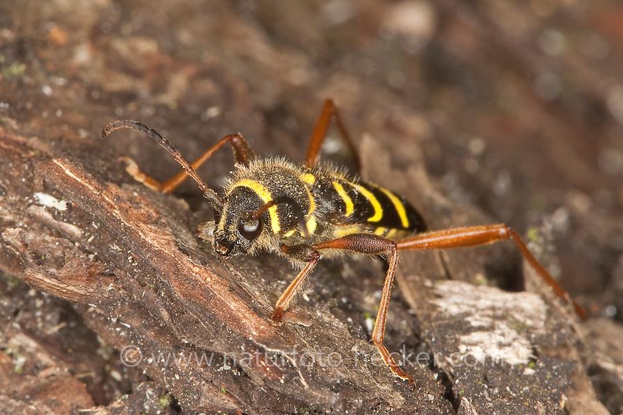 Gemeiner Widderbock, Echter Widderbock, Widder-Bock, Clytus arietis, Mimikry, Mimikri wegen Wespenähnlicher Zeichnung, wasp beetle