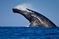 humpback whale, Megaptera novaeangliae, head-lunging breach, Kohala Coast, Big Island, Hawaii, USA, Pacific Ocean