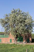 Birne, Birnbaum, Kultur-Birne, Garten-Birnbaum, Obstbaum, in einem Dorf vor Scheune, Dorfidylle, Pyrus communis, Common Pear, Poirier commun