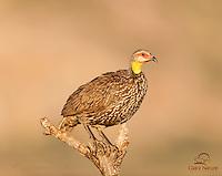 Yellow-necked Spurfowl (Francolinus leucoscepus) greets the sunrise, Samburu