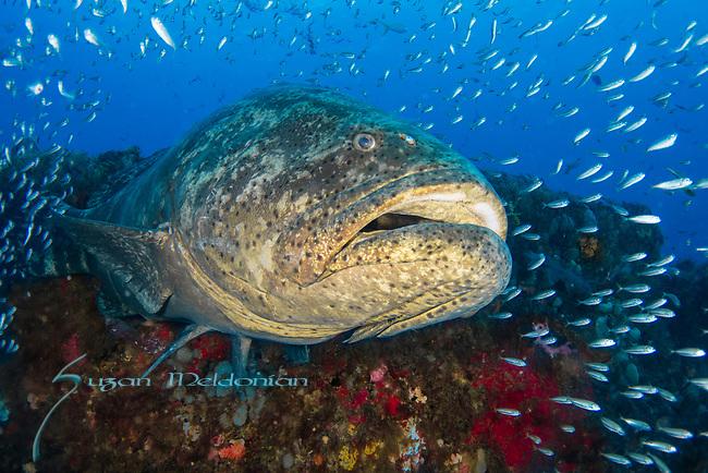 Atlantic goliath grouper bellowing, bait fish, endangered species, Epinephelus itajara, Goliath Groupers and bait balls, itajara, IUCN Red List vulnerable, jewfish, sardines, spawning event, MG111, Jupiter, FL