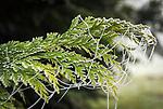 Deutschland, Bayern: die ersten Nachtfroeste zeugen vom bevorstehenden Winter - Spinnennetz am Lebensbaum mit Raureif | Germany, Bavaria: first night frost decorates cobweb with white frost