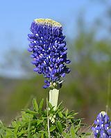 Large bluebonnet flower, Kingsland, TX