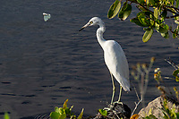 An egret stands by the water as a butterfly flutters past, Merritt Island, FL, March 2020.(Photo by Brian Cleary/bcpix.com)