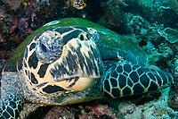 Hawksbill turtle, Eretmochelys imbricata, Komodo National Park, Indonesia, Pacific Ocean