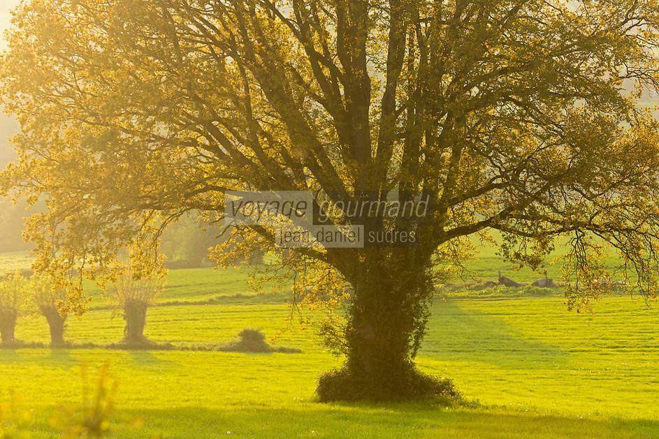 France, Orne (61), Pays d'Auge, Le Renouard, arbre dans le bocage // France, Orne, Pays d'Auge, Le Renouard, tree in the grove