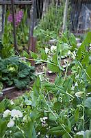 Sugar snap snow peas flowering in organic vegetable garden; Elvin Bishop garden