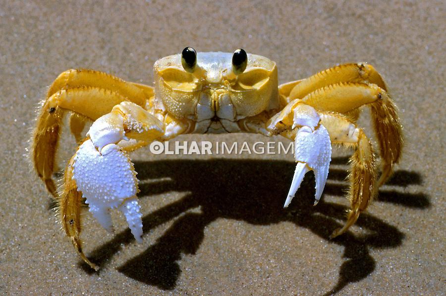 Animais. Crustaceos. Siri Maria-farinha ou espia-maré ( Ocypode albicans). Foto Luíza Lucchetti.