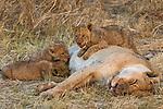 Nursing lion cubs, Okavango Delta, Botswana