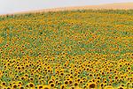 Sunflowers, Tuscany, Italy