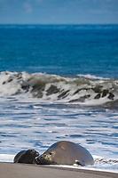 Hawaiian monk seal, Neomonachus schauinslandi ( Critically Endangered species, endemic to Hawaiian Islands ), with two week old pup, Waimanu Valley, Hawaii Island ( Pacific Ocean )