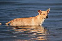 A dog swims into the saltwater wetland from the sea at the Ramsar site, lagoon and La Cruz estuary in Kino viejo, Sonora, Mexico.<br /> (Photo: Luis Gutierrez / NortePhoto.com).<br /> Un perro nada entre en el humedal de agua salada proveniente del mar en el sitio Ramsar, laguna y estero La Cruz en  Kino viejo, Sonora, Mexico. <br /> (Photo: Luis Gutierrez / NortePhoto.com).