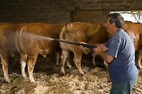 Europe/France/Aquitaine/40/Landes/ Mugron: Elevage de boeufs de Chalosse chez Monsieur Ducasse , lavage des boeufs au jet // France, Landes, Mugron, Monsieur Ducasse's farm, Boeuf de Chalosse ox farming