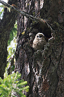 Spotted Owl (Dtrix occidentalis) chick in nest cavity in an old growth douglas fir. Willamette National Forest, Oregon. June.