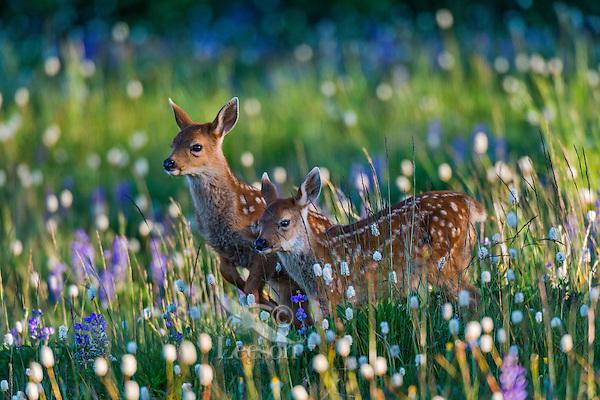 Twin Columbian black-tailed deer (Odocoileus hemionus columbianus) fawns walking through subalpine meadow covered with wildflowers.  Early morning, Pacific Northwest.  Summer.