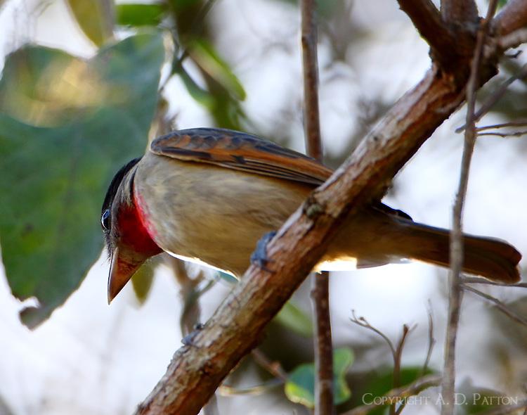 Immature male rose-throated becard