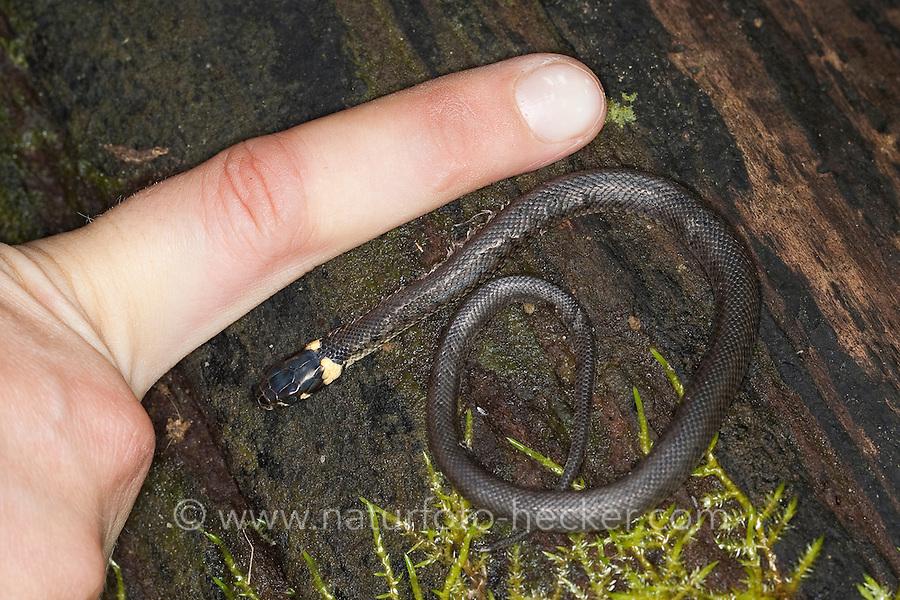 Ringelnatter, Jungtier im Größenvergleich mit einem Finger, Ringel-Natter, Natter, Natrix natrix, Grass Snake, Couleuvre á collier