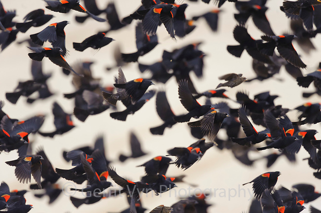 Winter flock of Red-winged Blackbirds (Agelaius phoeniceus) in flight. Lower Klamath National Wildlife Refuge, Siskiyou County, California. December.