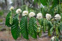 Afrika ANGOLA Calulo, bluehende Kaffeepflanzen auf Fazienda von Fernando Sobral / Africa ANGOLA Calulo, blossom coffee at fazienda of  Fernando Sobral