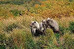 Two light colored Grizzly bear cubs, Ursus arctos horribilis, stay close to their mother.