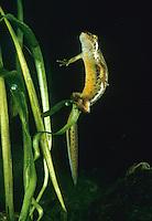 Teichmolch, Weibchen bei der Eiablage, wickelt ein Ei in Waserpflanze ein, Teich-Molch, Molch, Molche, Lissotriton vulgaris, Triturus vulgaris, smooth newt