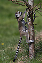 """16/05/16<br /> <br /> """"I'll just try going up a few steps...""""<br /> <br /> Three baby ring-tail lemurs began climbing lessons for the first time today. The four-week-old babies, born days apart from one another, were reluctant to leave their mothers' backs to start with but after encouragement from their doting parents they were soon scaling rocks and trees in their enclosure. One of the youngsters even swung from a branch one-handed, at Peak Wildlife Park in the Staffordshire Peak District. The lesson was brief and the adorable babies soon returned to their mums for snacks and cuddles in the sunshine.<br /> All Rights Reserved F Stop Press Ltd +44 (0)1335 418365"""