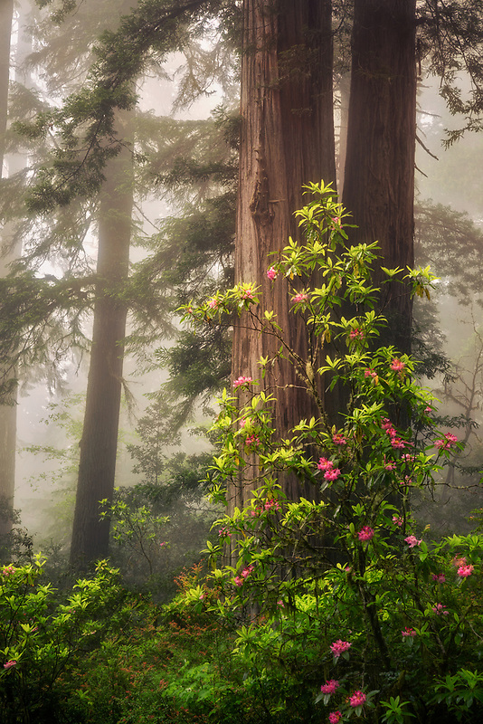 Rhododendrons and redwood trees. Redwood National and State Parks