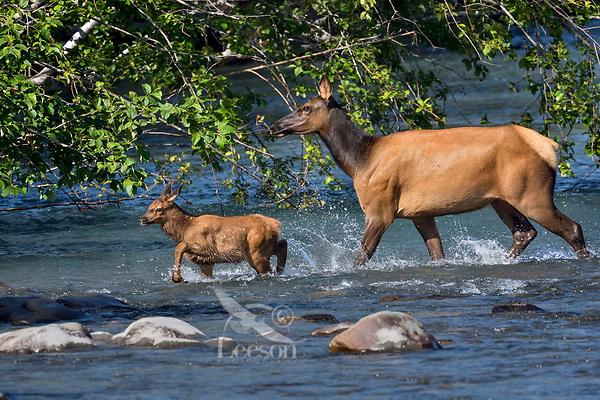 Roosevelt Elk (Cervus canadensis roosevelti) cow and calf, sometimes called Olympic Elk, wading river.  Olympic National Park, WA.  June.