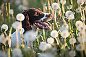 11/05/17<br /> <br /> Springer Spaniel, Chester, 3, runs through a field full of dandelion clocks as the sun sets on one of the hottest days of May near Wirksworth in the Derbyshire Dales.<br /> <br /> All Rights Reserved F Stop Press Ltd. (0)1773 550665 www.fstoppress.com