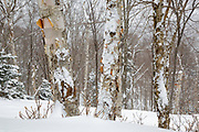 Snow-covered hardwood forest on the northern slopes Mount Waternomee in Kinsman Notch in North Woodstock, New Hampshire USA during a snow storm.