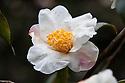 Camellia 'Cornish Snow' (cuspidata x saluenensis), mid March.