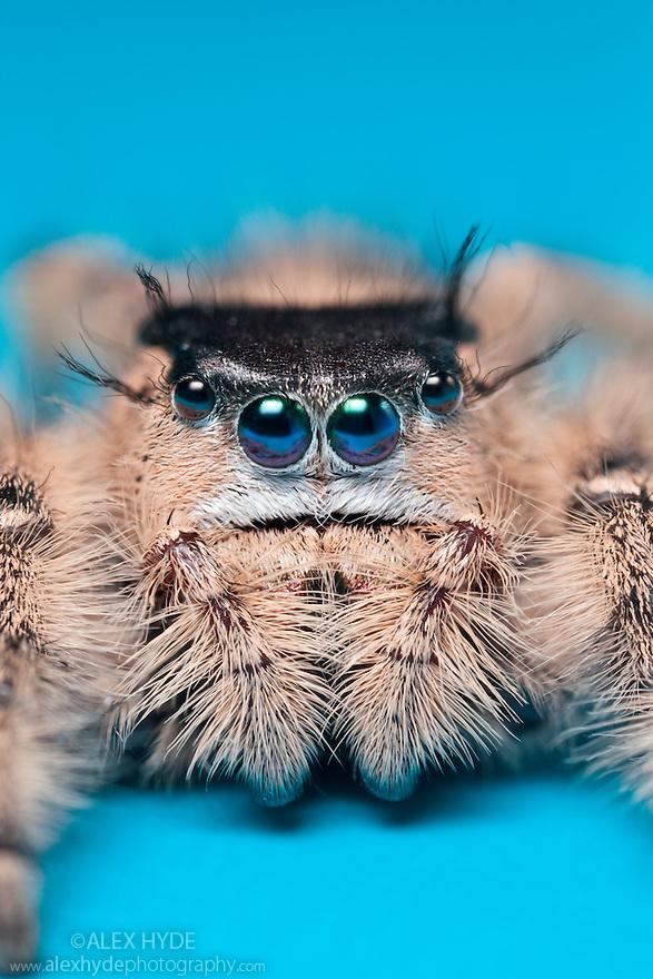 Canopy Jumping Spider female {Phidippus otiosus}, captive, orginating from North America. website