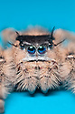 Canopy Jumping Spider female {Phidippus otiosus}, captive, orginating from North America. website