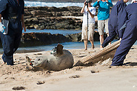 NOAA researchers release a Hawaiian monk seal, Neomonachus schauinslandi, after attaching a Crittercam and tracking instrumentation package; west end of Molokai, Hawaii, Ho Ike a Maka Project; photo taken under NOAA permit 10137-6