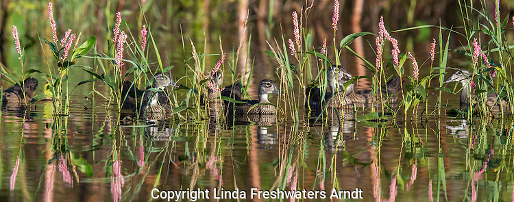 Wood duck family hiding among the smartweed