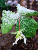 Trillium with snow (trillium ovatum). Willamette National Forest, Oregon.