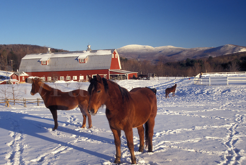 horses, Vermont, VT, Horses in a snow-covered field on a farm in Jericho Center in winter.